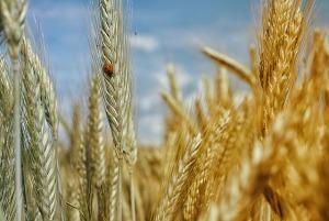 cornfield-195642_640