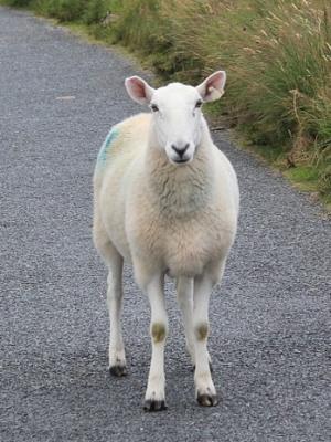 sheep-369173_1280