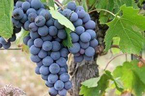 grapes-522010_640