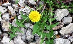 stony weedy